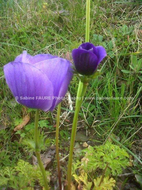 Anemone en Provence Photographe:Sabine FAURE