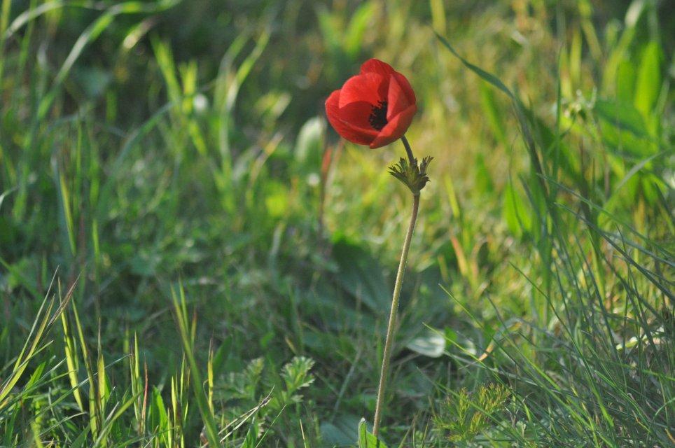 Anemone Rouge en Provence Photographe:Sabine FAURE