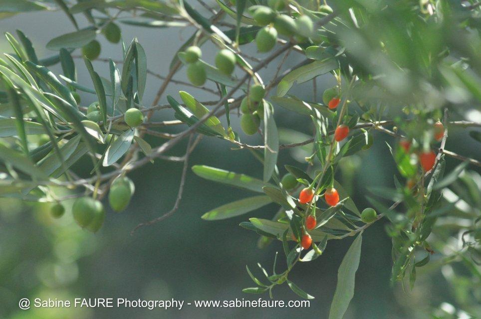 Olives et Baies de Goji BIO en PROVENCE