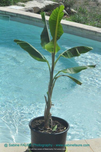 Organic MUSA HELEN Banana Tree in PROVENCE