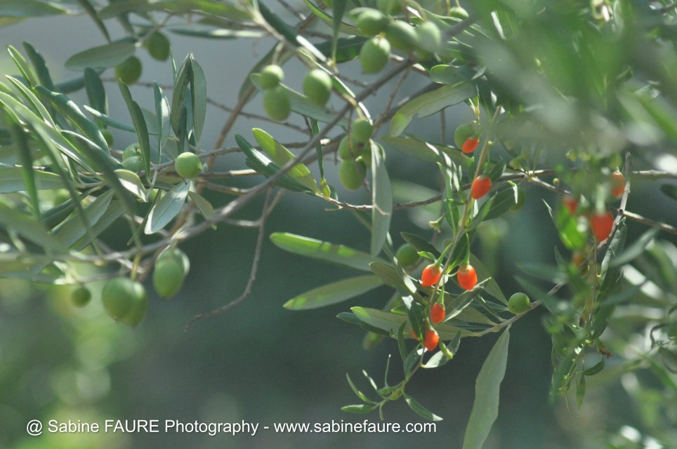Organic Olives and Goji Berries in PROVENCE